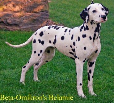 Beta-Omikrons-Belamie